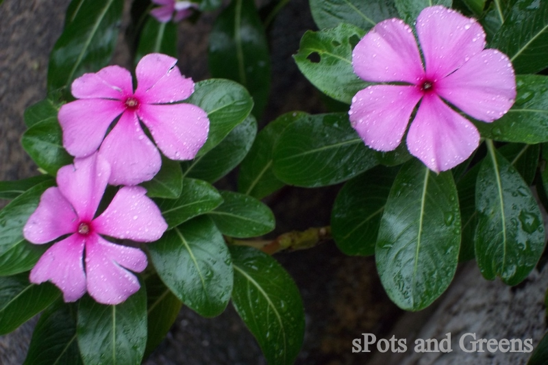 Madagascar periwinkle catharanthus roseus spots and greens the madagascar mightylinksfo