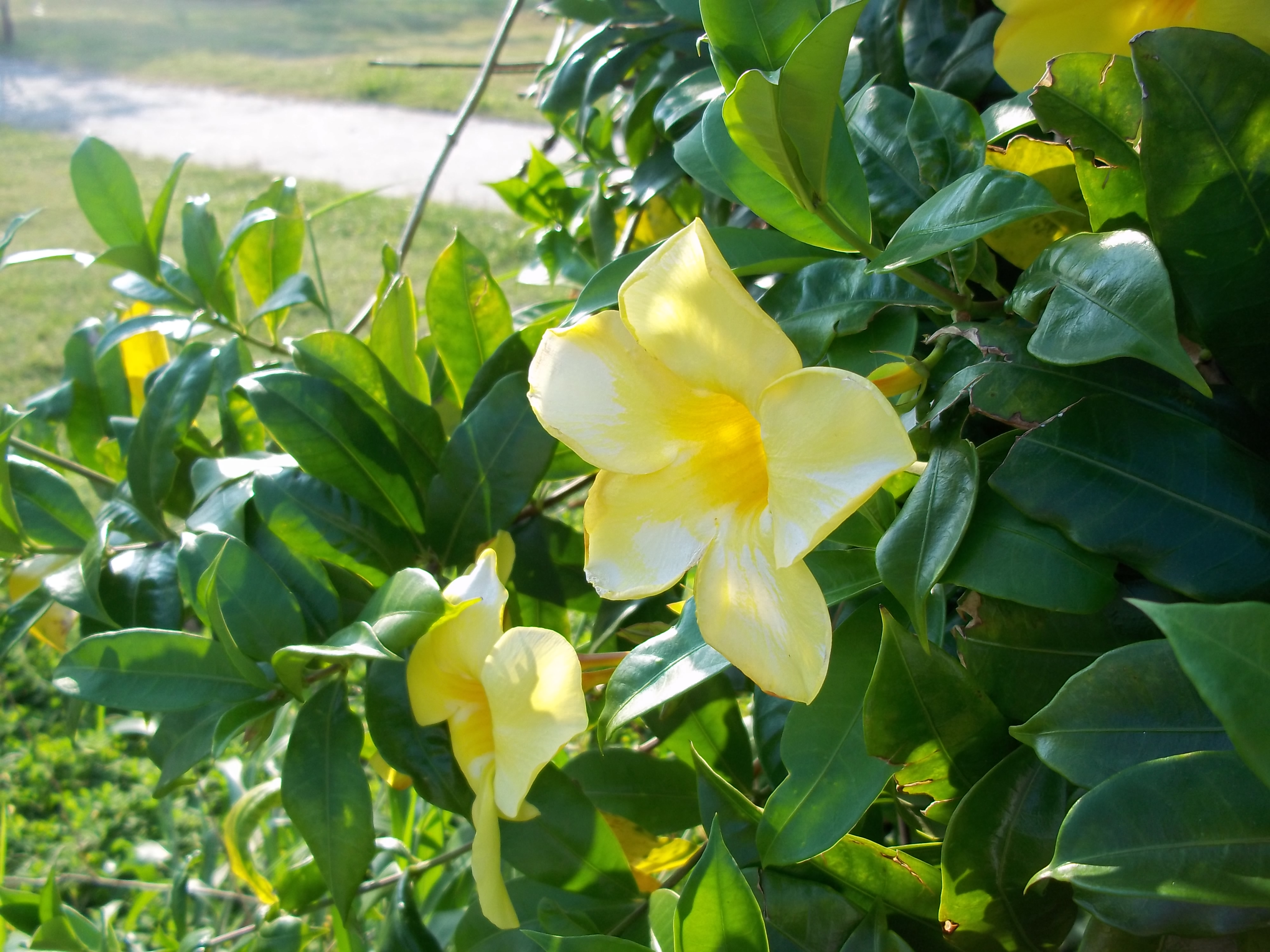 Yellow Bell Allamanda Cathartica Spots And Greens