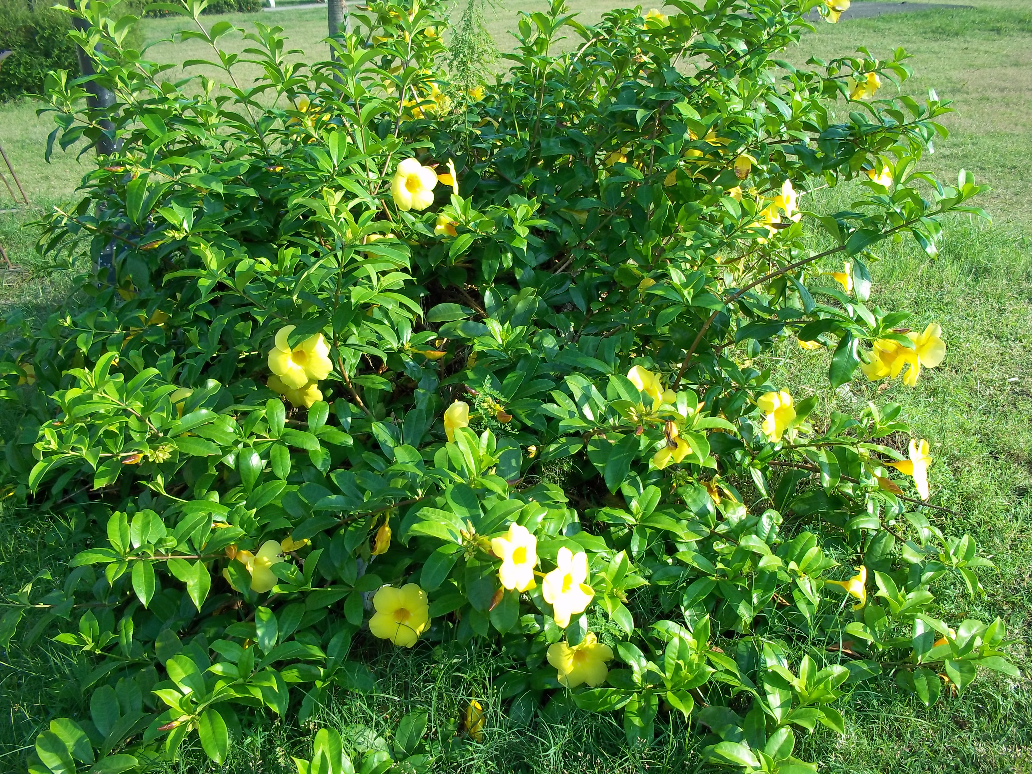 Yellow bell allamanda cathartica spots and greens this flowering plant grows mightylinksfo Images