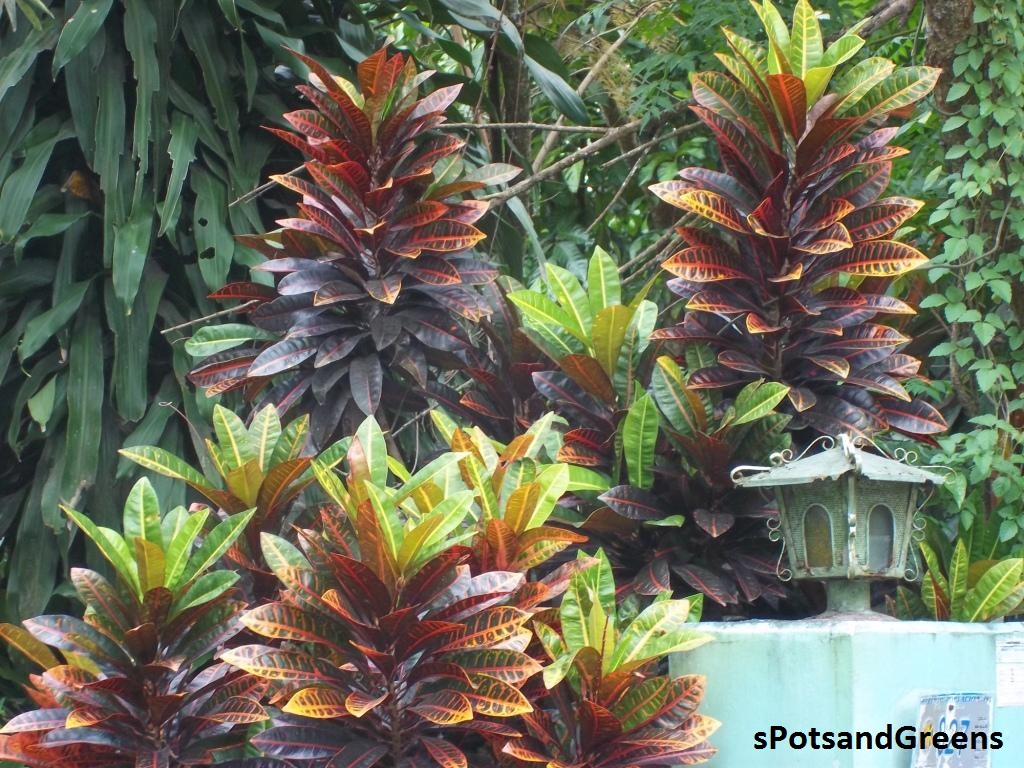 Outdoor ornamental plants - The Plant Can Be Used As Indoor Decors Placed In Pots Or As Outdoor Ornamentals Usually As Fence Or Border
